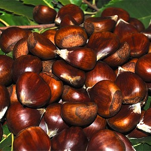 1''-1 1/4'' Diam.  Medium Colossal Fresh Chestnuts   (Priced by the Pound)